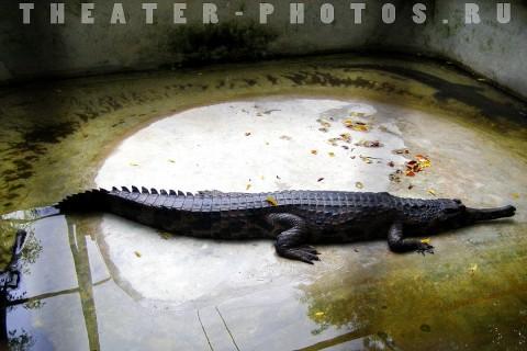 крокодил переваривает ужин